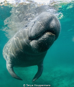 Surfacing A manatee takes a break from napping to surfac... by Tanya Houppermans