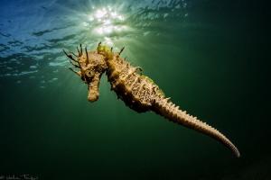Long-snouted seahorse, Hippocampus guttulatus (Thau lagoo... by Mathieu Foulquié