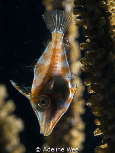 Backlinghting the filefish illuminating the skeletal bone... by Adeline Wee