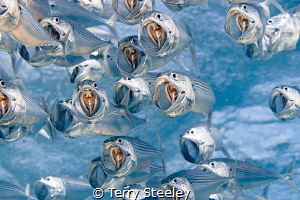 Introducing the Indian mackerel choir by Terry Steeley