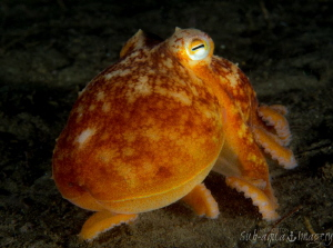 Batnfjord Night Dive Octopus by Jan Morton