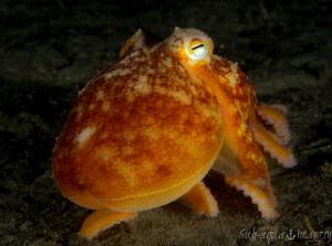 Batnfjord Night Dive Octopus by Jan Morton
