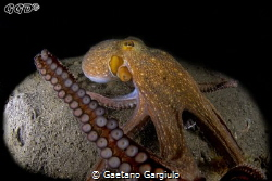 Ain't sharing!!! large octopus feasting (and not sharing)... by Gaetano Gargiulo