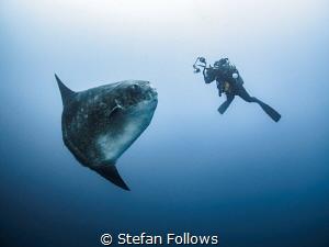 Mola Moment. Southern Ocean Sunfish - Mola ramsayi. Gilli... by Stefan Follows