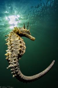 Hippocampus guttulatus #2 by Mathieu Foulquié