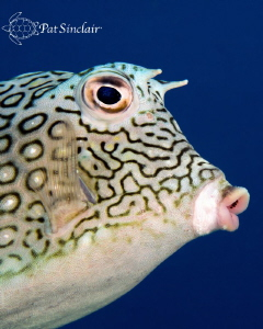 This honeycomb cowfish posed for me for quite a while...a... by Patricia Sinclair