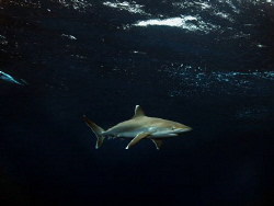 Juvenile Silvertip shark on Surface by Jenny Strömvoll
