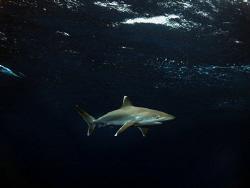 Juvenile Silvertip shark on Surface by Jenny Strömvoll