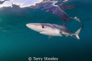 'Blue without you.' Blue sharks off the coast of Cornwall.  by Terry Steeley