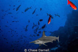 """""""Sleek"""" A Hammerhead comes by for a closer look at Dirty... by Chase Darnell"""