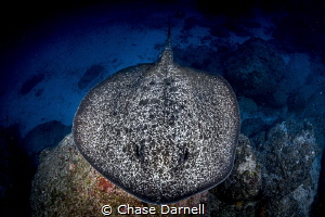"""""""Marble Top"""" A Large Marble Ray swimming across the bottom. by Chase Darnell"""