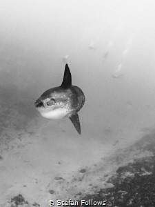 Susie's Mola. Southern Ocean Sunfish - Mola ramsayi. Crys... by Stefan Follows