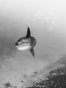 Susie's Mola. Southern Ocean Sunfish - Mola ramsayi. Crys... by Stefan Follows