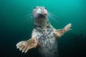 ' And for my next trick' UK - Farne Islands  Nikon D800... by Spencer Burrows
