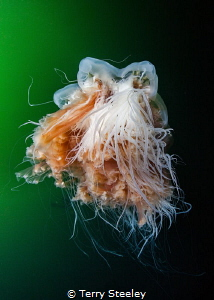 Lion's mane jellyfish'. Inside passage, Alaska.