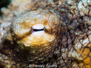 Close-up of an Octopus' eye by Henley Spiers