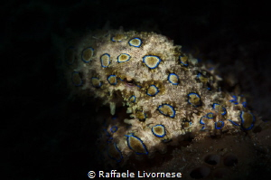 BLUE RING OCTOPUS WITH SNOOTED FLASH by Raffaele Livornese