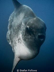 Mola on Macro ... ! Southern Ocean Sunfish - Mola ramsayi... by Stefan Follows