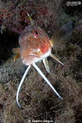 """Baffone"" this goat fish was swimming towards me when I s... by Gaetano Gargiulo"
