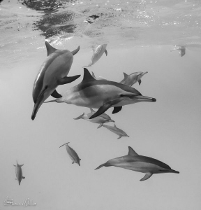 Fast shutter speeds are key for these fast Spinner Dolphi... by Steven Miller