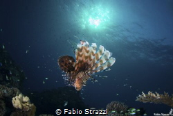 Lionfish and sun by Fabio Strazzi
