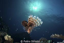 Lionfish and sun by Fabio Strazzi