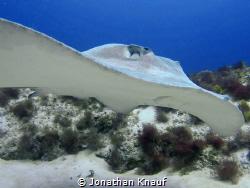 Caribbean Whiptail Stingray by Jonathan Knauf