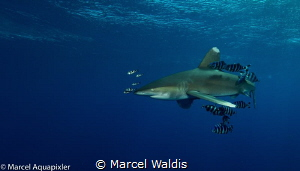 I shoot tis Picture during a Shark Workshop in the Red Se... by Marcel Waldis