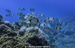 reef life - swarm passing by by Claudia Weber-Gebert