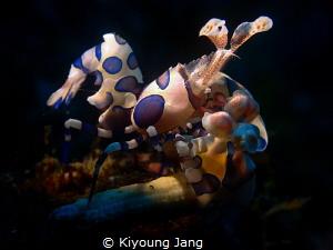 Harlequin shrimp~ by Kiyoung Jang