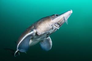 Fresh Water Sturgeon close up Nikon D800 Nauticam  Si... by Spencer Burrows