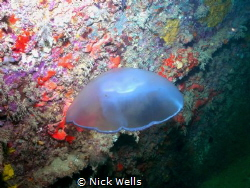 Jelly on the airplane barge off of Clearwater Florida. by Nick Wells