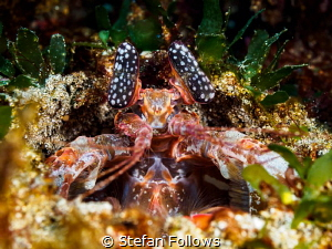 The Gatekeeper. Mantis Shrimp - Lysiosquilla sp. Bali, In... by Stefan Follows
