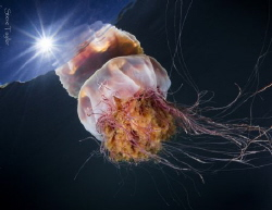 Lion's Mane jelly, Kelvin Grove, BC. Nikon D810 with Sigm... by Steve Taylor
