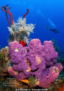 The North Wall of Grand Cayman is spectacular! At depth, ... by Susannah H. Snowden-Smith