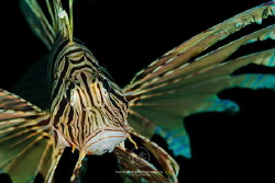 Portrait of a common lionfish by Arno Enzo
