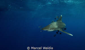 I shot this Picture during a Shark Workshop at Elphinstone by Marcel Waldis