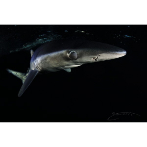 ~ Midnight ~  A Blue Shark pulls over a protective memb... by Geo Cloete