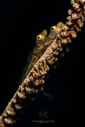 Two whip coral gobies on a whip coral. by Arno Enzo