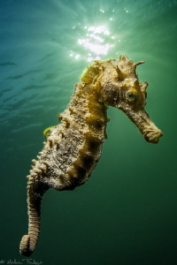 another little guy (Long-snouted seahorse - Hippocampus g... by Mathieu Foulquié