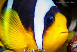 Anemone ,Clownfish & the Eggs taken by Canon 5D mk3 in Na... by Khaled Zaki