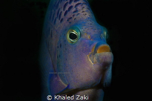 Blue Angel Fish by Khaled Zaki