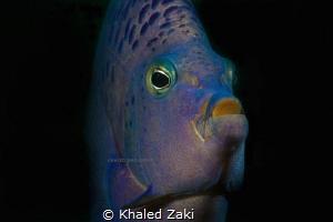 Blue Angel Fish by Khaled Zaki