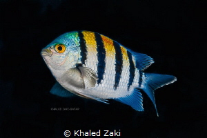 Sergeant Fish taken by Canon 5D mk3 in Nauticam Housing w... by Khaled Zaki