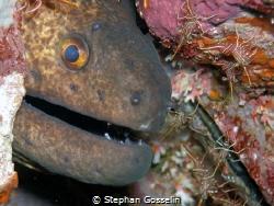 Giant moray eel guarded by Hinged beak shrimps. by Stephan Gosselin