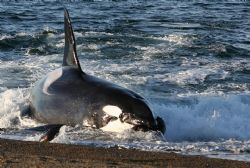 Orcas in Argentina have learned the tactic of beaching th... by Don Bruschera