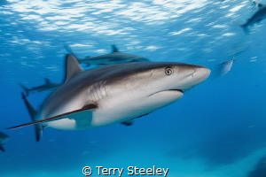 'The ocean is where I belong!'. Caribbean reef shark — S... by Terry Steeley