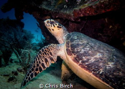 Hawksbill Turtle shot with Canon G7x Compact while diving... by Chris Birch