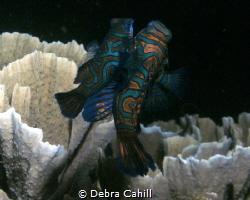 Mating Mandarin fish - the dance of love by Debra Cahill