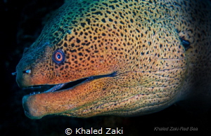 Giant Moray by Khaled Zaki